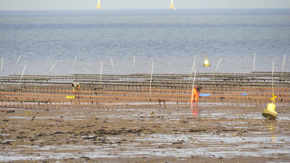 Oyster Fields