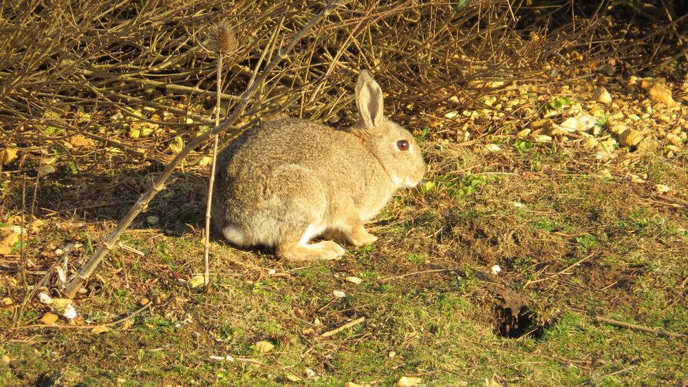 Rabbits of Hope Gap