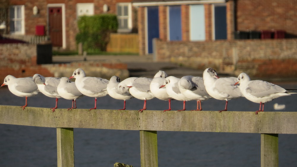 11 Gulls Perching