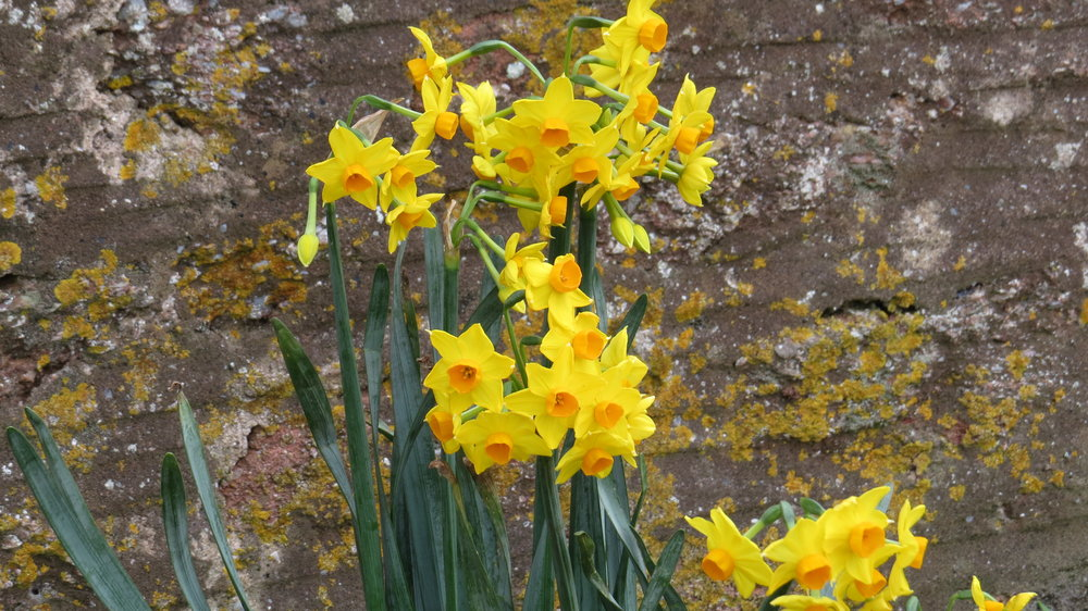 Early Narcissi