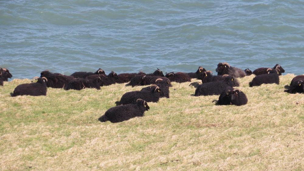 Clifftop Sheep