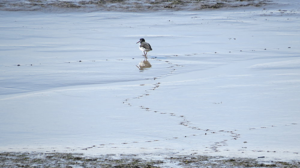 Oyster Catcher Trails