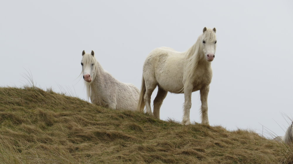 White Ponies