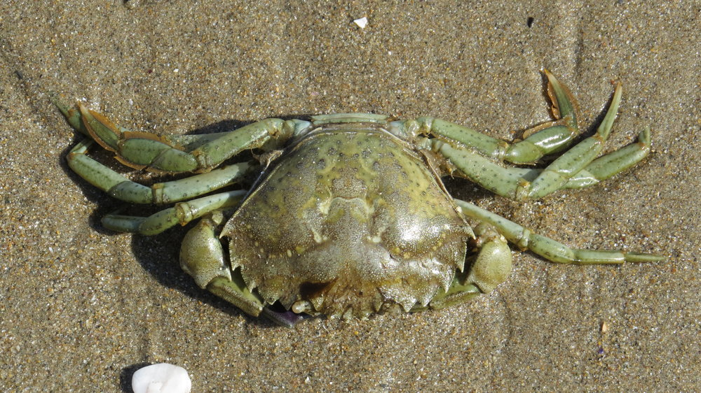 Simply a Crab
