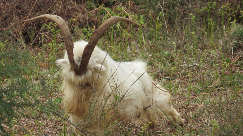 Ridiculous Horns on Goat
