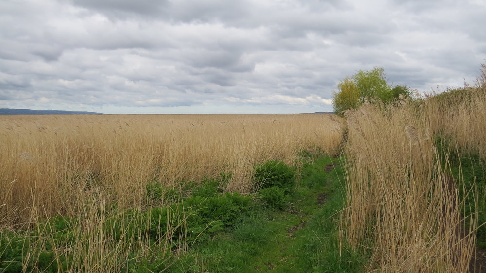 Narrow Path through Reeds