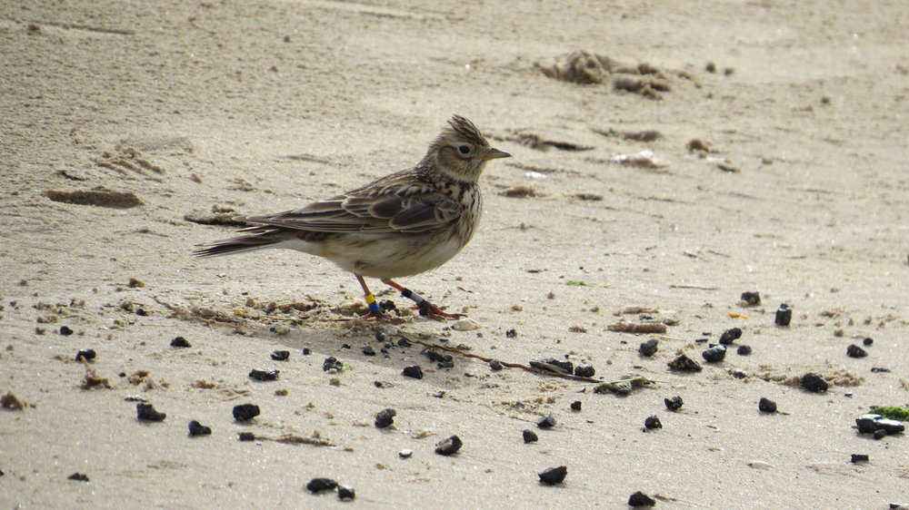 Ringed Skylark on Beach