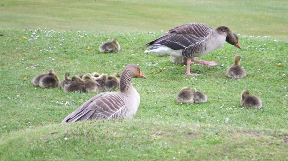 Greylag Geese Chicks