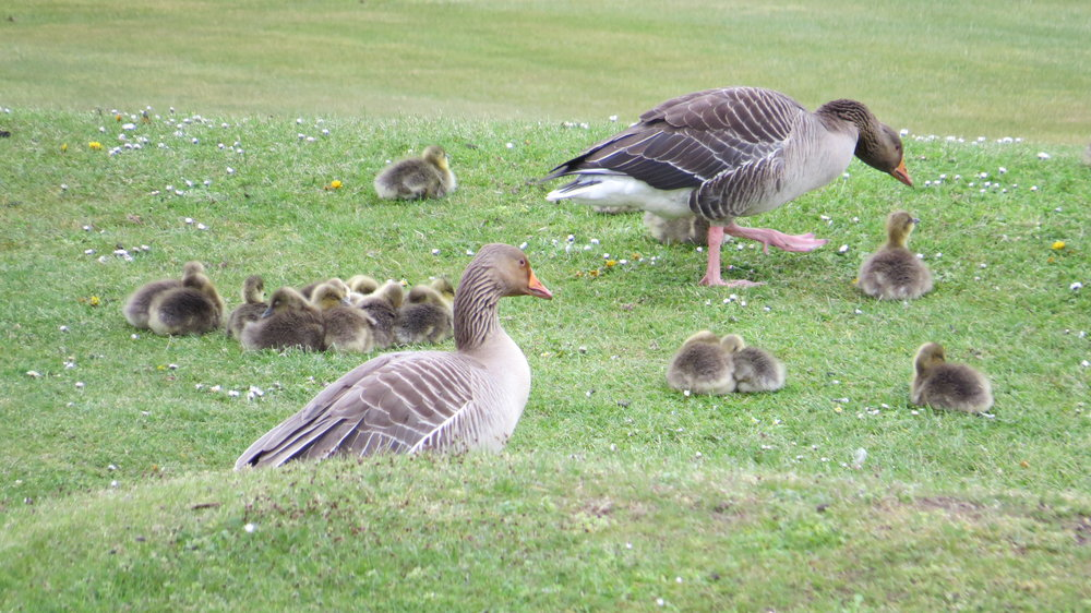 Greylag Geese & Chicks