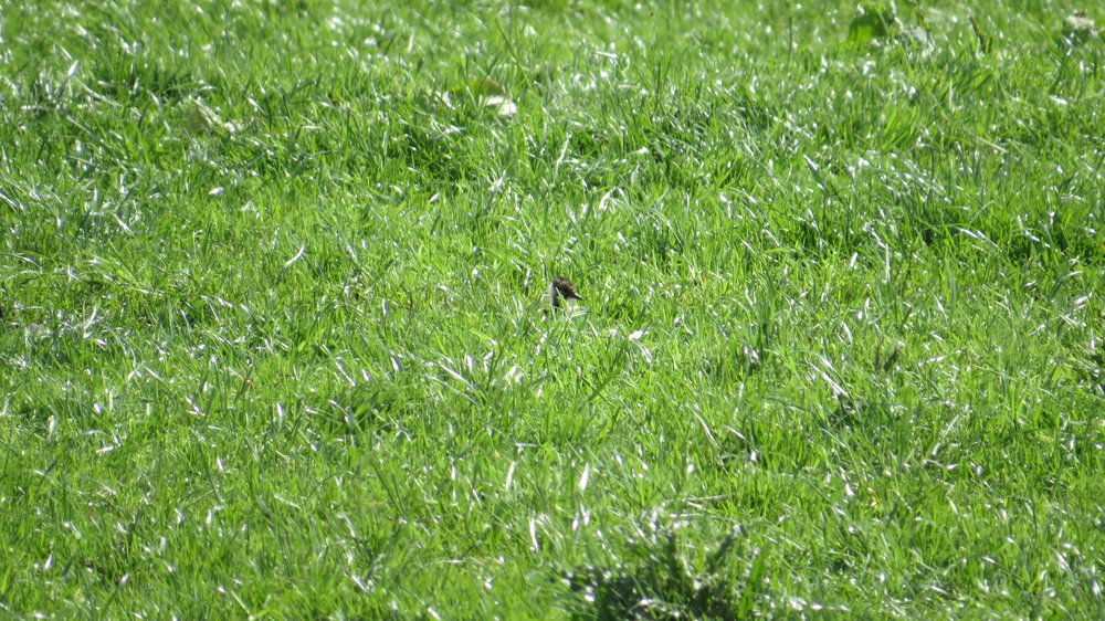 Spot the Baby Lapwing