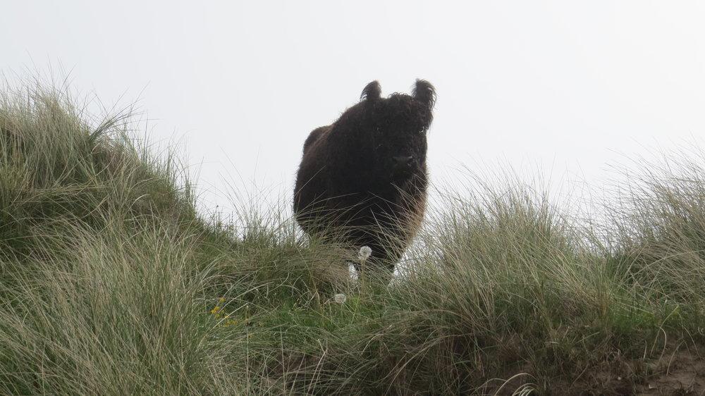 Cow in Dunes