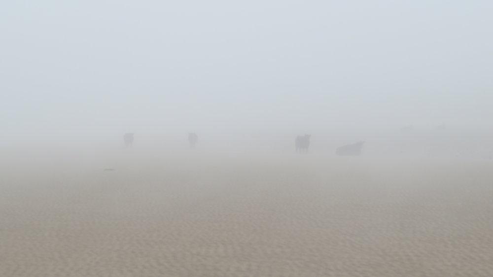 Cows on Beach through Haze