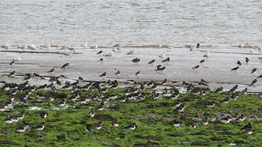 Oyster Catchers & Gulls
