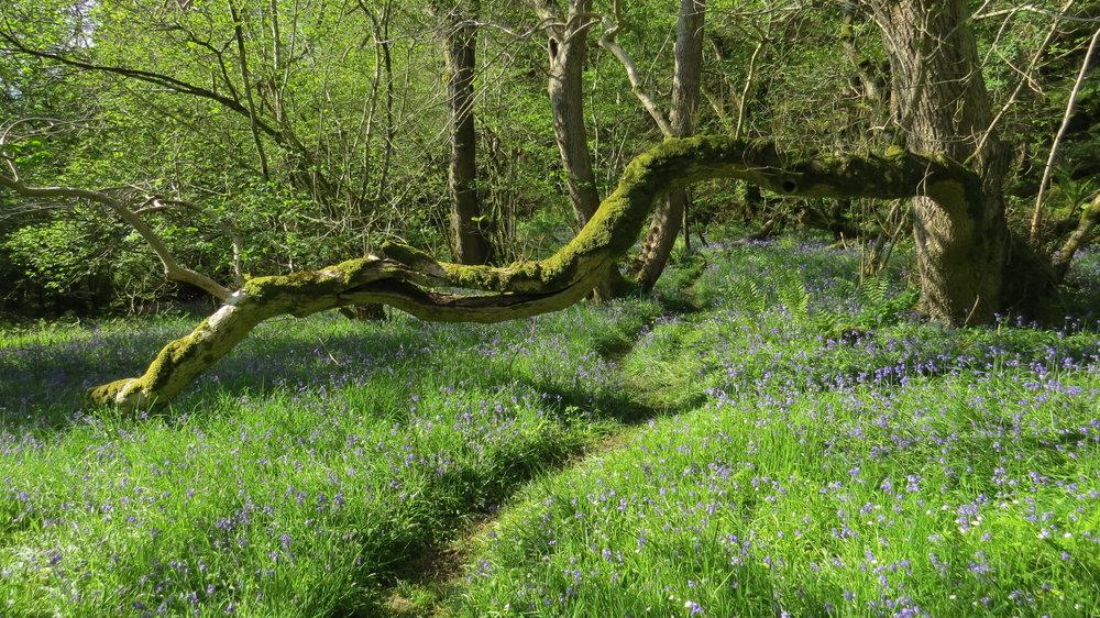 Bluebell Woodland Walking
