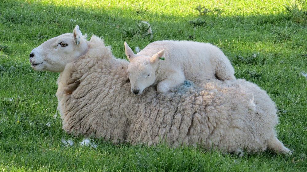 Can I sleep on Ewe