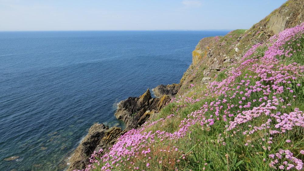 Thrift (Sea Pinks) on Cliffs