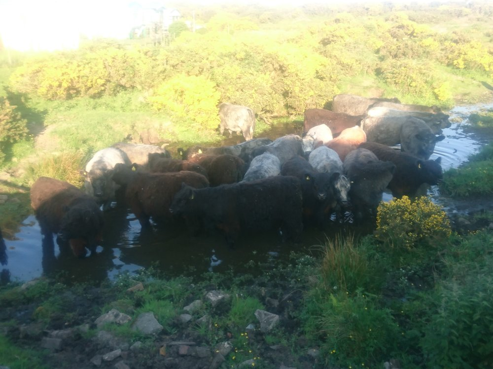 Even the cows need to cool down.