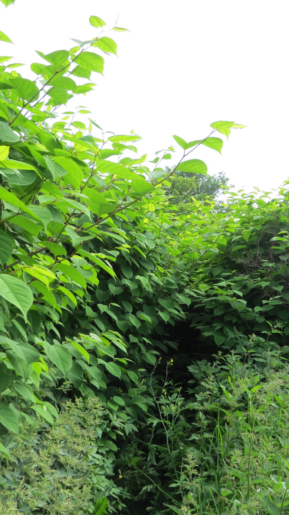 Japanese Knotweed Blocking my Way