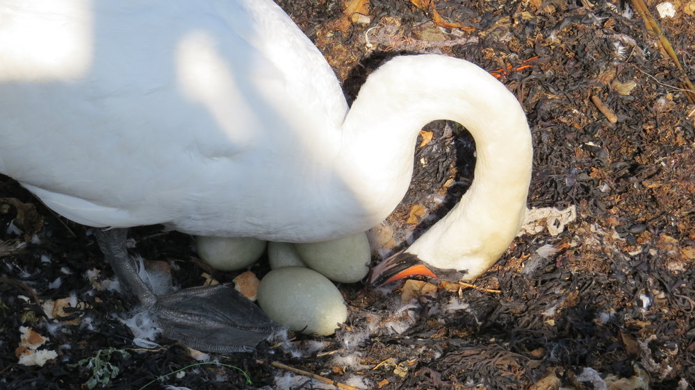 Swan and Eggs