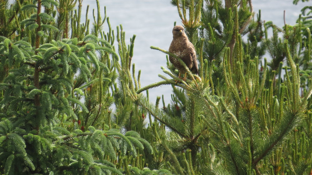 Buzzard, sadly not an Eagle