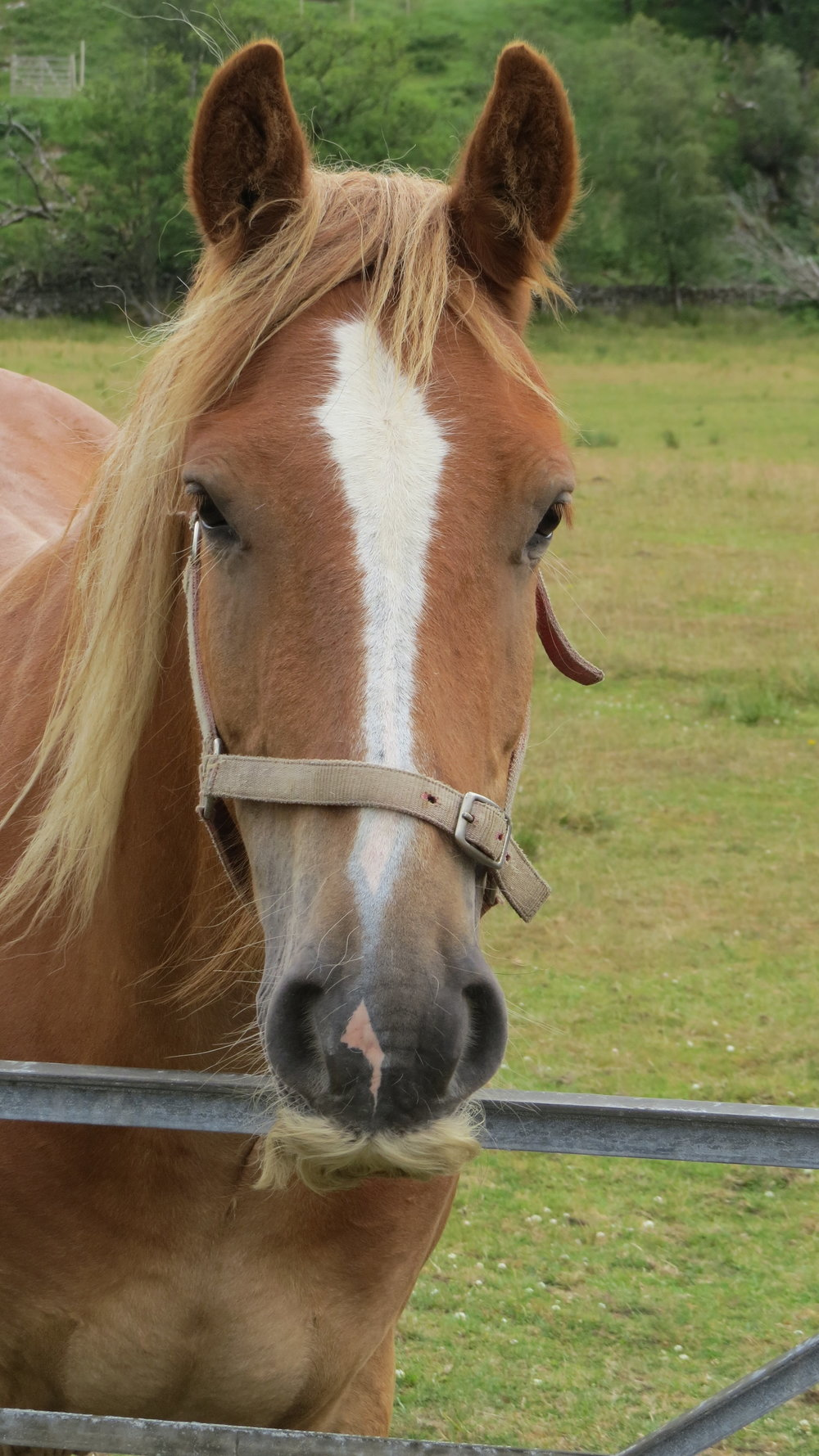 Horse with a Moustache