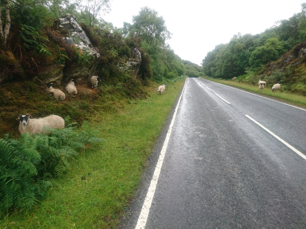 Sheep by Road