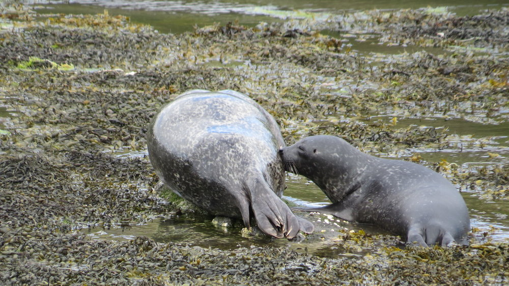 Suckling Seal Pup