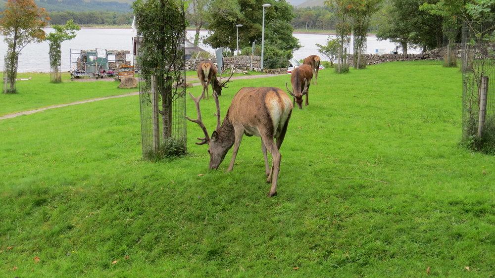 Deer in Applecross