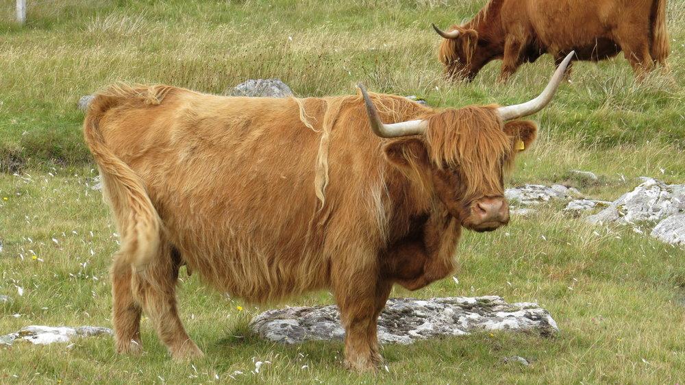 Moody Highland Cow