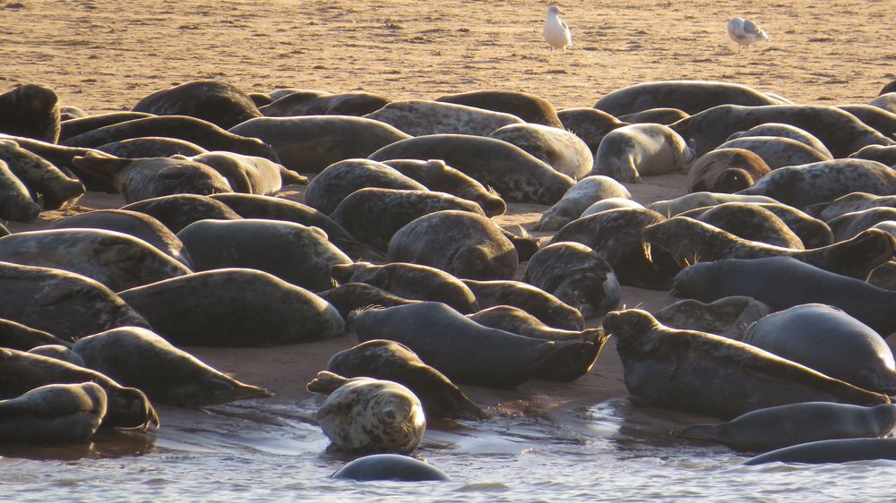 Seals Newburgh Sands