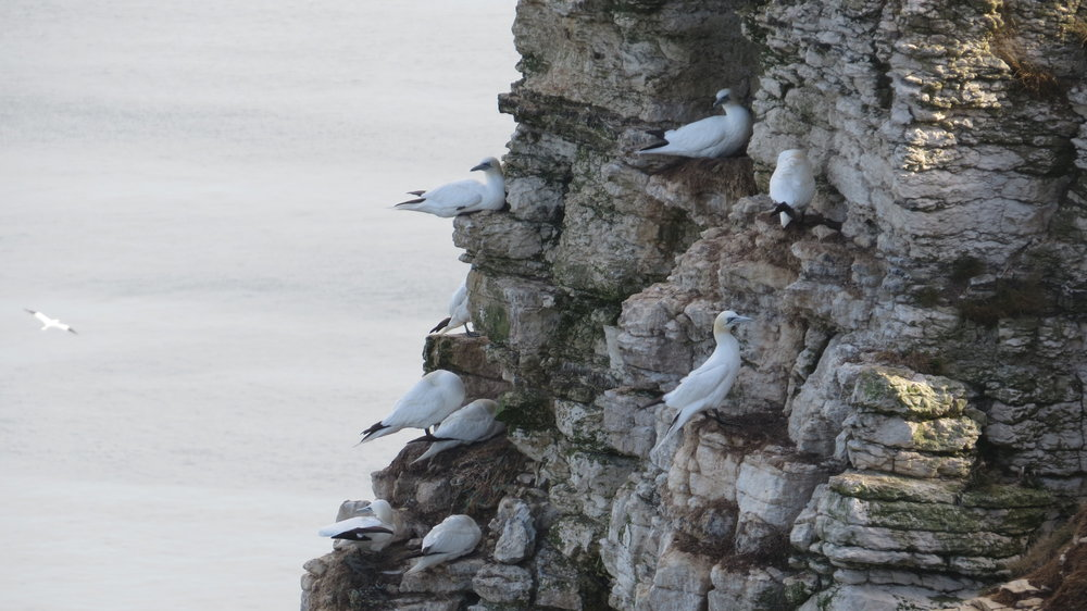 Gannets on Cliff Face