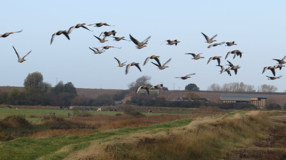 Geese Flypast