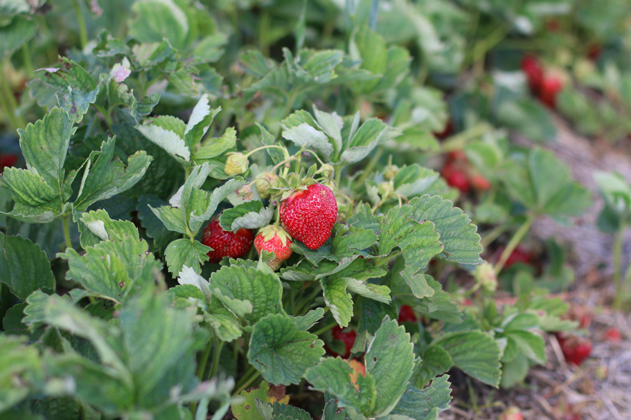 starwberry-bush.jpg
