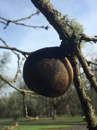 A single Oak Gall. Image courtesy of Vondra and Lena Baucum.