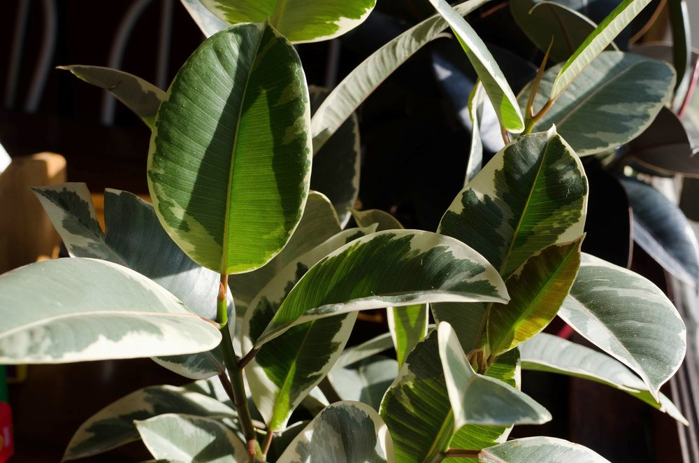 "Ficus elasitca variegata "" Tineke""   basking in the glory of the western sun. This plant would also do well in a south-facing window covered by a sheer curtain."