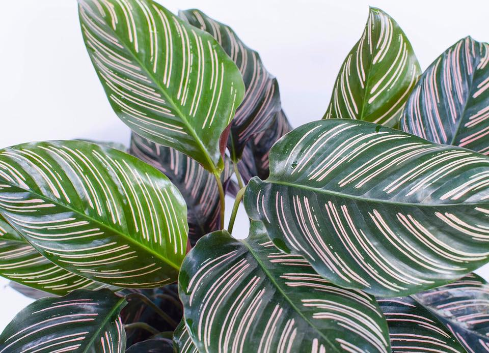 Calathea oranata  is a popular species of calathea that is readily available in many local nurseries.