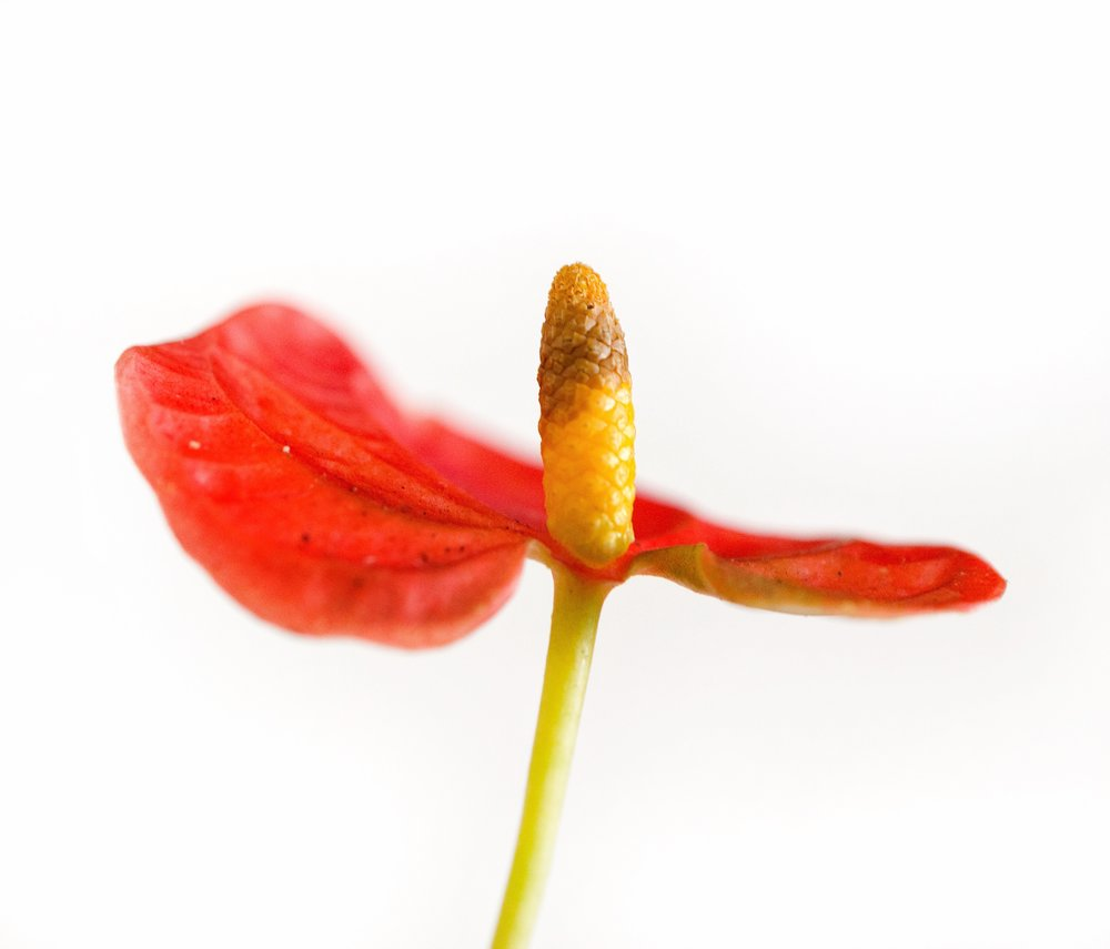 An example of an Anthurium inflorescence, with a yellow spadix and rich red spathe.