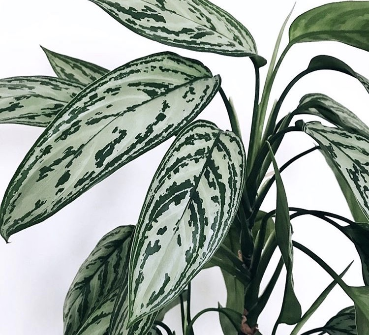 A classic Aglaonema, courtesy of @lindasleaves on Instagram