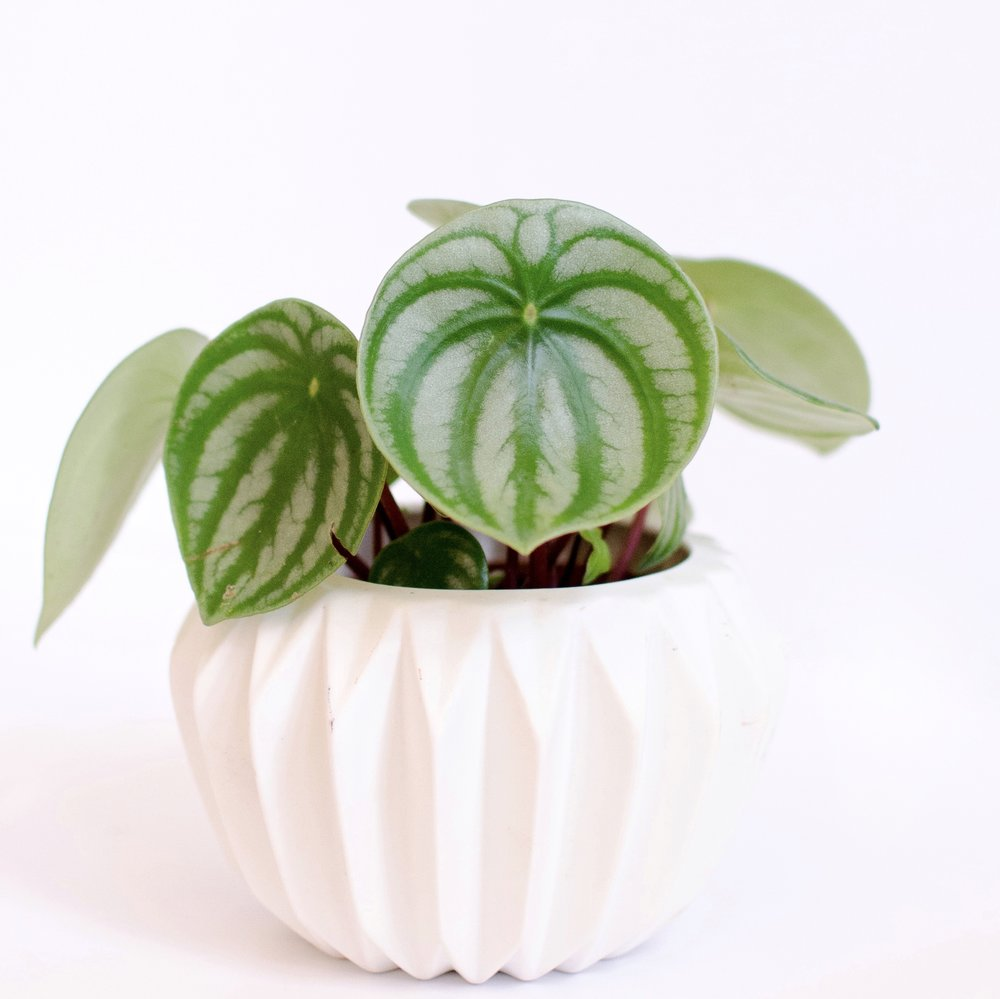 P. argyreia  (watermelon Peperomia) is one of the most sensitive species to overwatering. Their