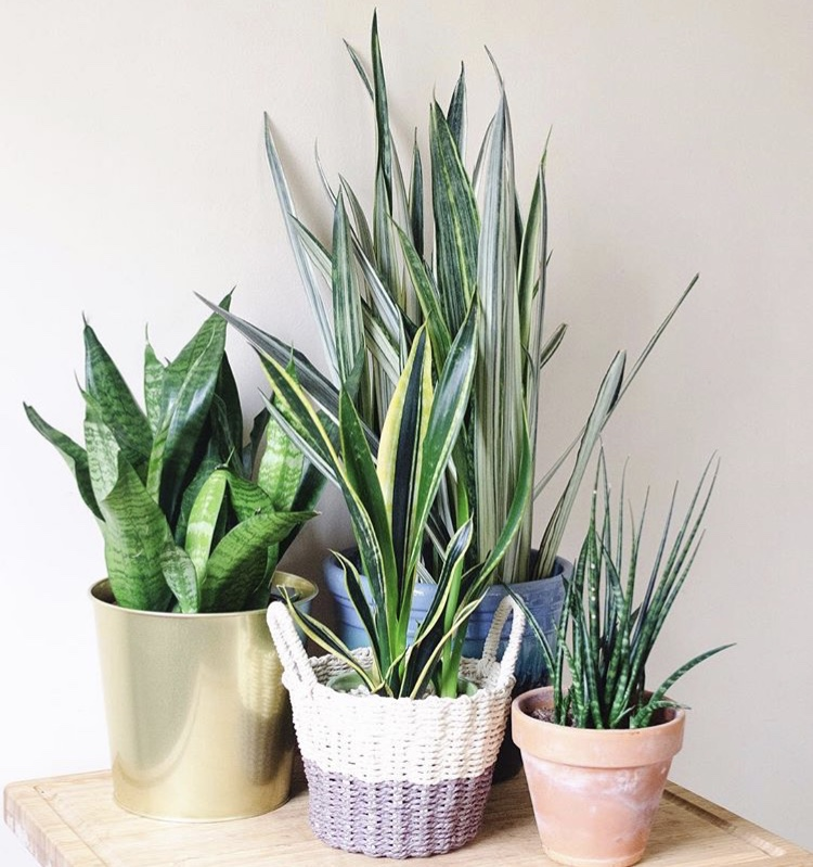 A grouping of a variety of Sansevieria species and cultivars.
