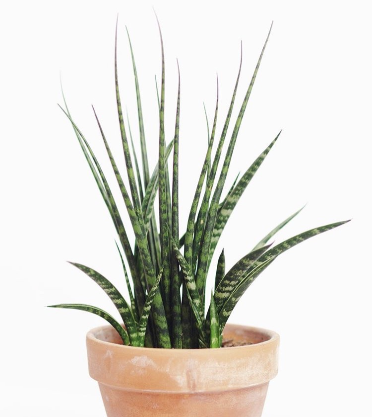 Sansevieria  'Fernwood Mikado' is a compact hybrid with slim, point leaves.