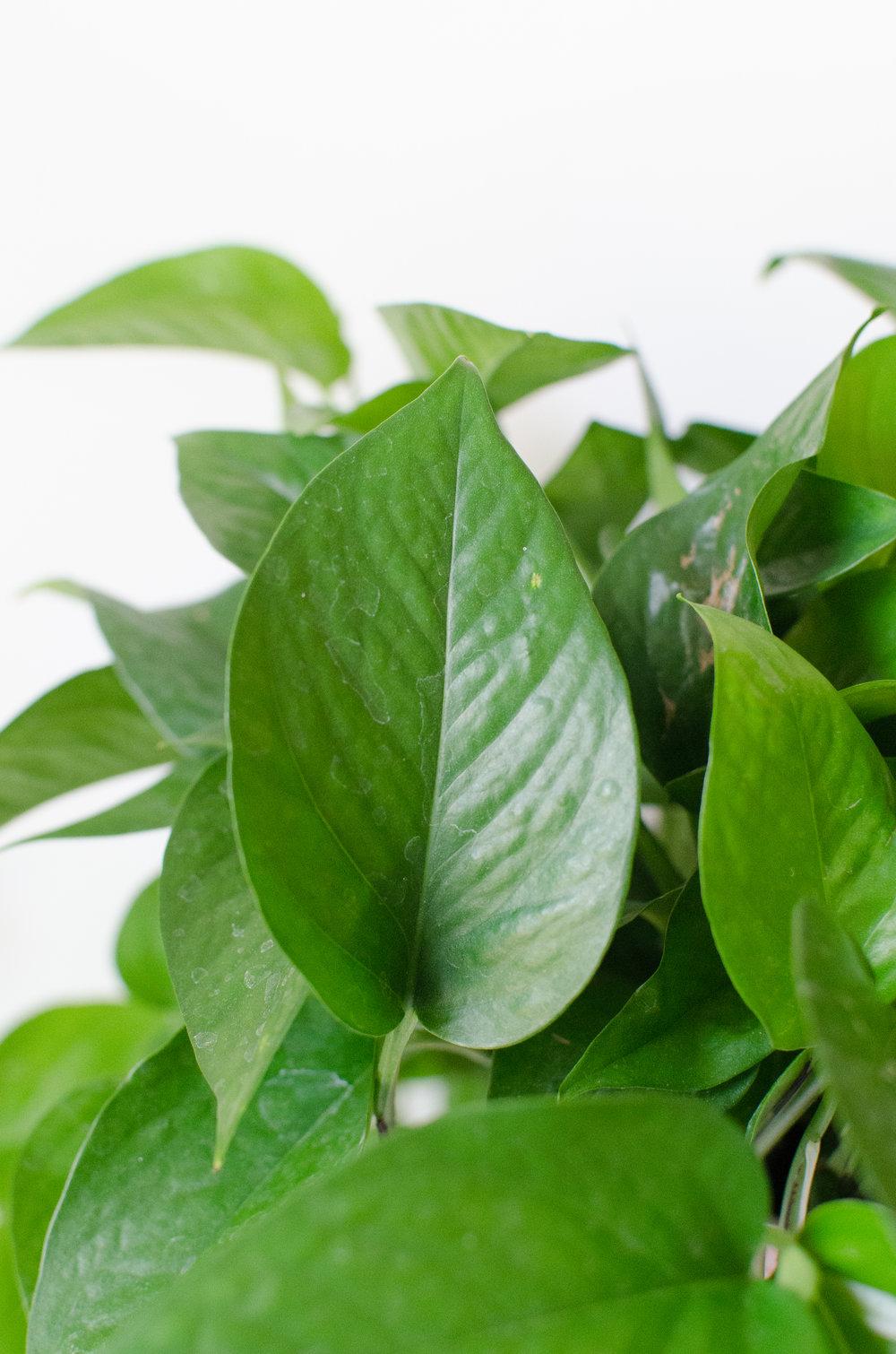 Pothos leaf up close.