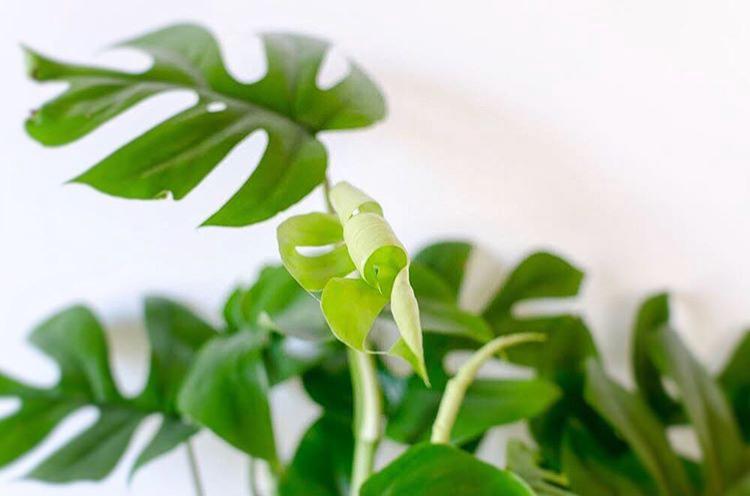 Unfurling a beautiful fresh leaf!