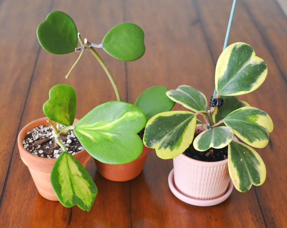 The Top 5 Hoya Care Mistakes How To Correct Them Stamen Stem