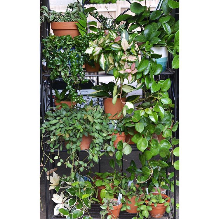 One of my three Hoya shelves - I currently have around 70 different varieties.