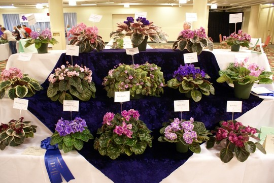 An example of some African Violets for show! Image from Google.
