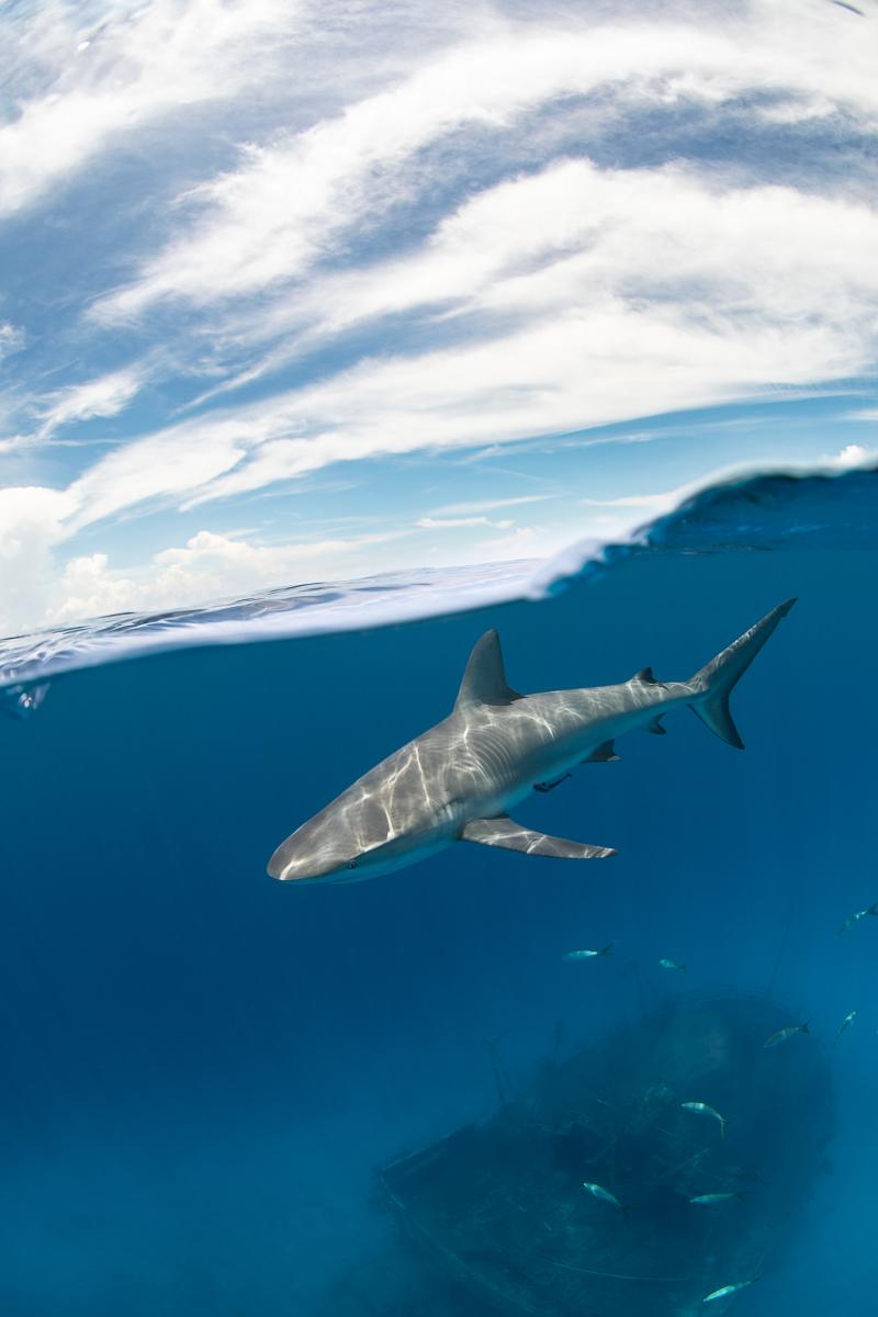 Caribbean Reef shark splitshot and shipwreck bahaams (c) André Musgrove.jpg