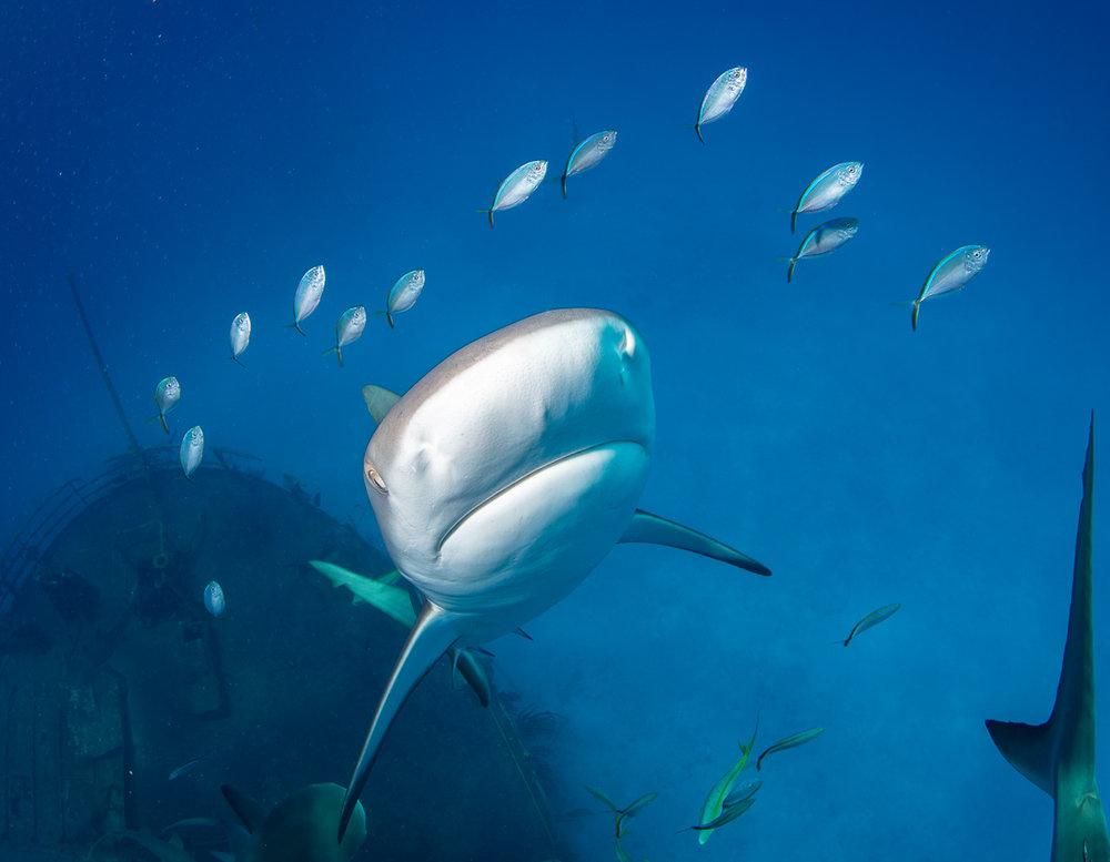 Caribbean Reef shark in Nassau Bahamas (c) André Musgrove Photography 2018.jpg
