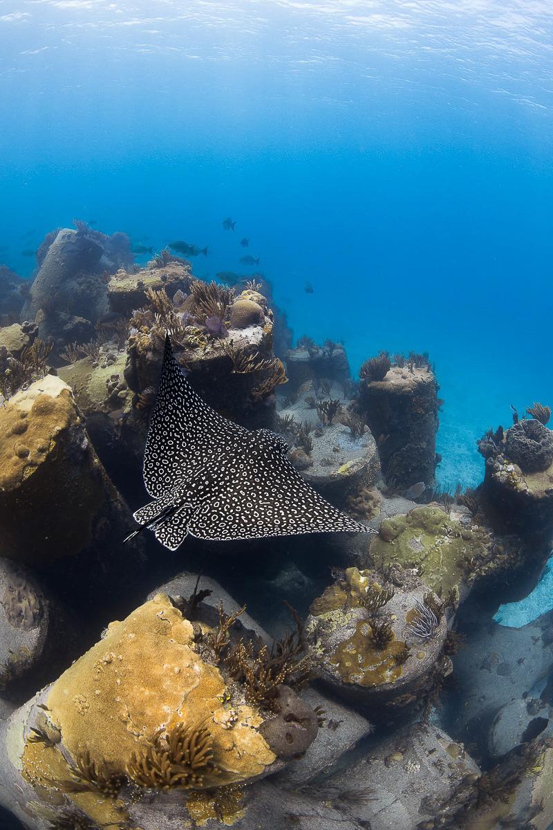 Eagle Rays Bahamas.jpg
