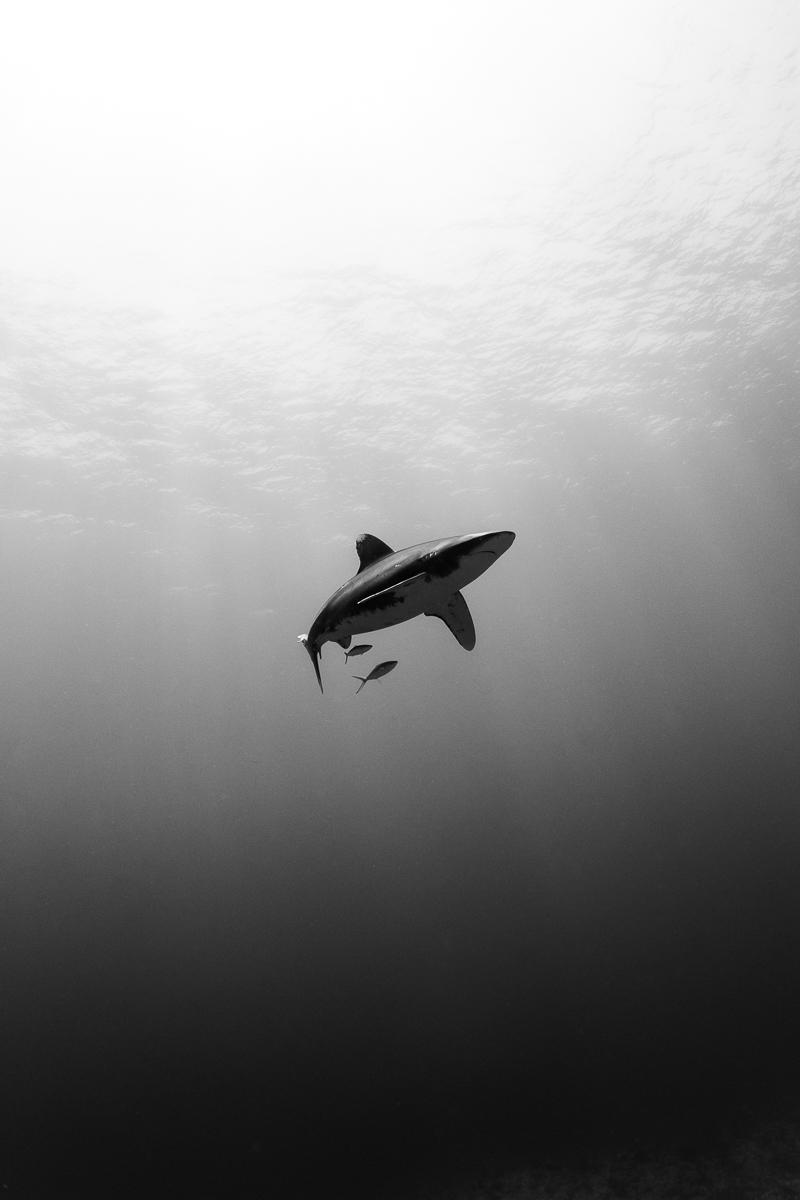 Oceanic Whitetip BW (c) André Musgrove.jpg